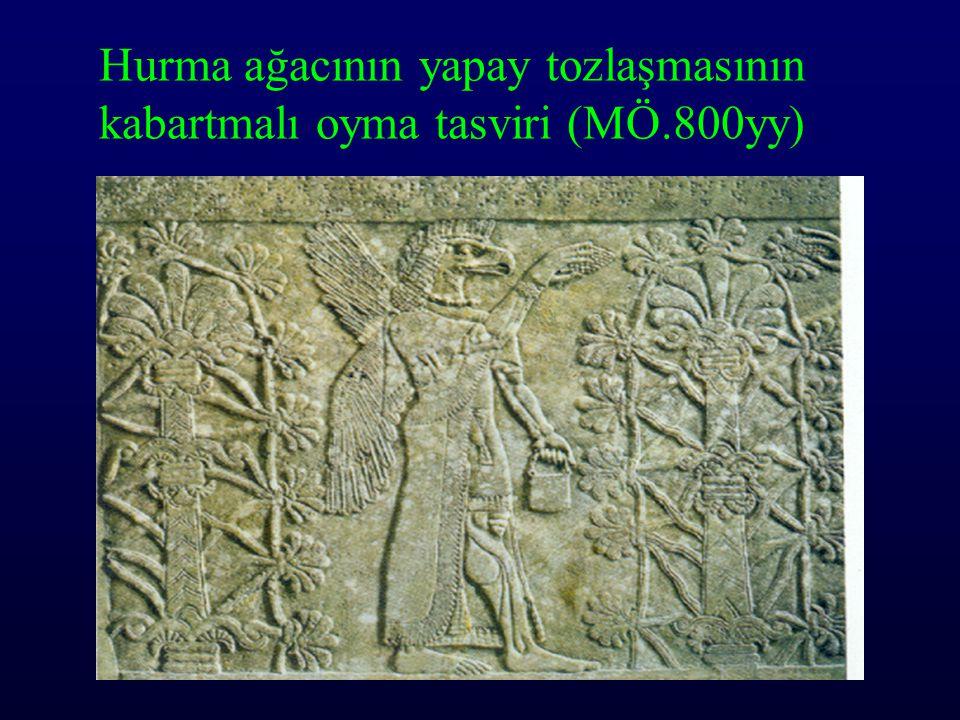 Hurma ağacının yapay tozlaşmasının kabartmalı oyma tasviri (MÖ.800yy)