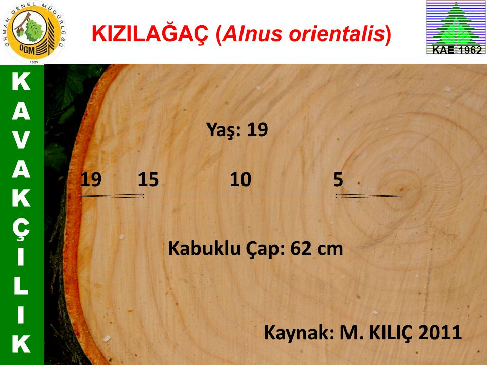 KAVAKÇILIKKAVAKÇILIK KAE 1962 5101519 Kabuklu Çap: 62 cm Yaş: 19 KIZILAĞAÇ (Alnus orientalis) Kaynak: M. KILIÇ 2011
