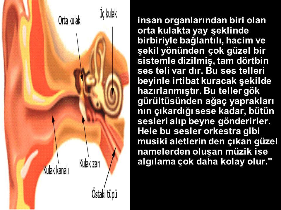 •insan organlarından biri olan orta kulakta yay şeklinde birbiriyle bağlantılı, hacim ve şekil yönünden çok güzel bir sistemle dizilmiş, tam dörtbin ses teli var dır.