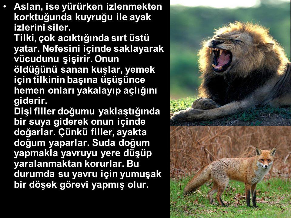 •Aslan, ise yürürken izlenmekten korktuğunda kuyruğu ile ayak izlerini siler.