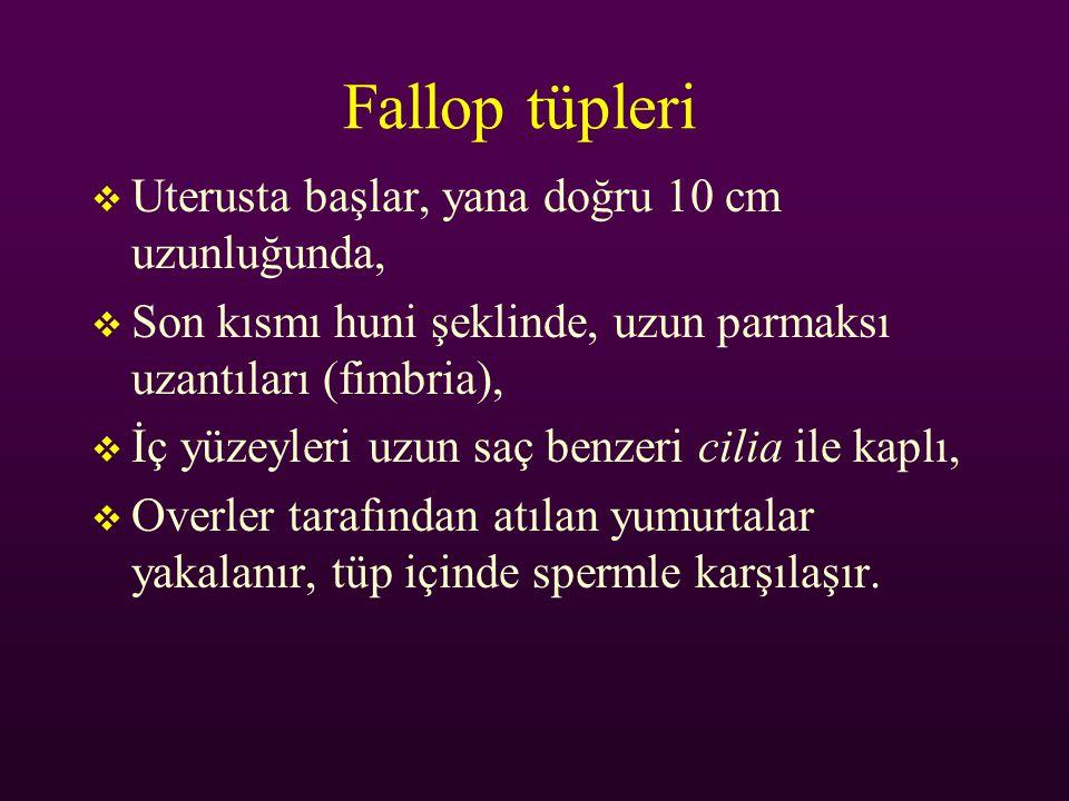 Fallop tüpleri  Uterusta başlar, yana doğru 10 cm uzunluğunda,  Son kısmı huni şeklinde, uzun parmaksı uzantıları (fimbria),  İç yüzeyleri uzun saç
