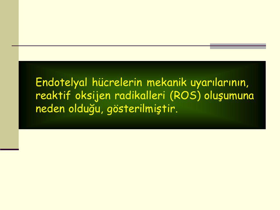 Endotelyal hücrelerin mekanik uyarılarının, reaktif oksijen radikalleri (ROS) oluşumuna neden olduğu, gösterilmiştir.