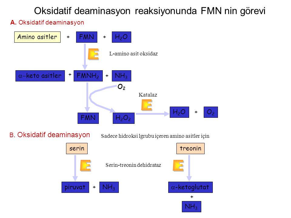 Oksidatif deaminasyon reaksiyonunda FMN nin görevi Amino asitlerFMNH2OH2O ++  keto asitlerFMNH 2 NH 3 L-amino asit oksidaz A. Oksidatif deaminasyon
