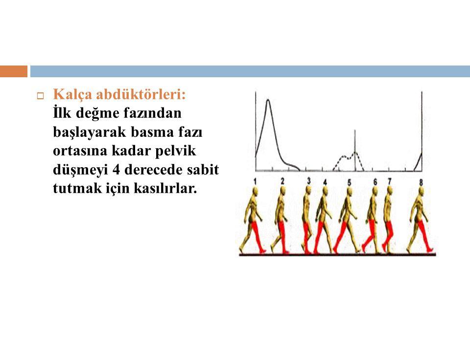  Kalça abdüktörleri: İlk değme fazından başlayarak basma fazı ortasına kadar pelvik düşmeyi 4 derecede sabit tutmak için kasılırlar.
