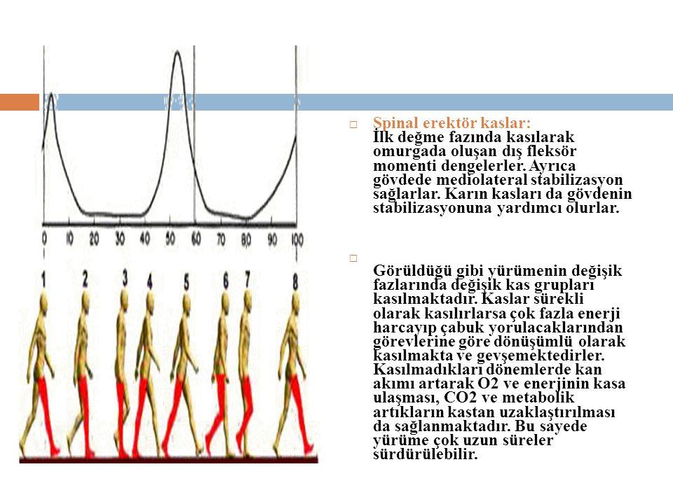  Spinal erektör kaslar: İlk değme fazında kasılarak omurgada oluşan dış fleksör momenti dengelerler.