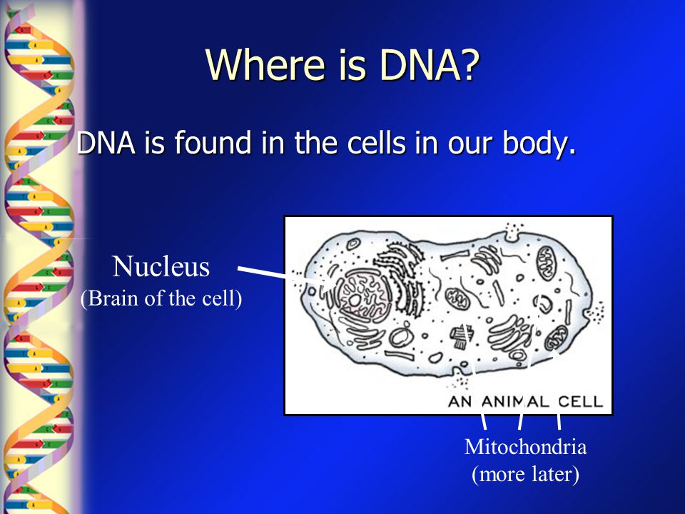 Where is DNA? DNA is found in the cells in our body. Nucleus (Brain of the cell) Mitochondria (more later)