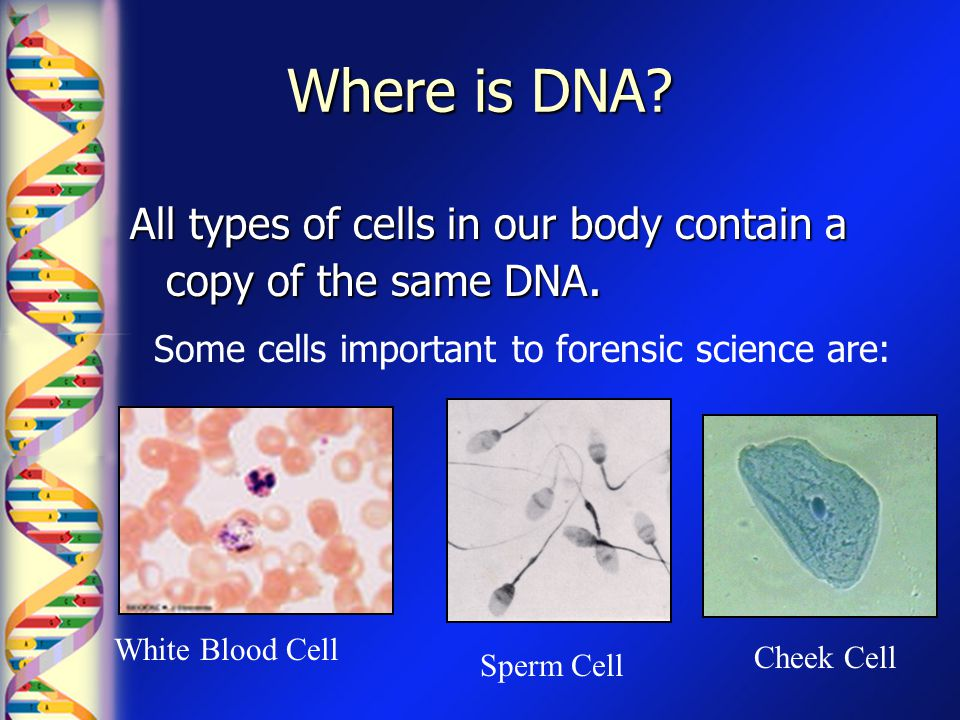 Where is DNA? All types of cells in our body contain a copy of the same DNA. Some cells important to forensic science are: White Blood Cell Sperm Cell