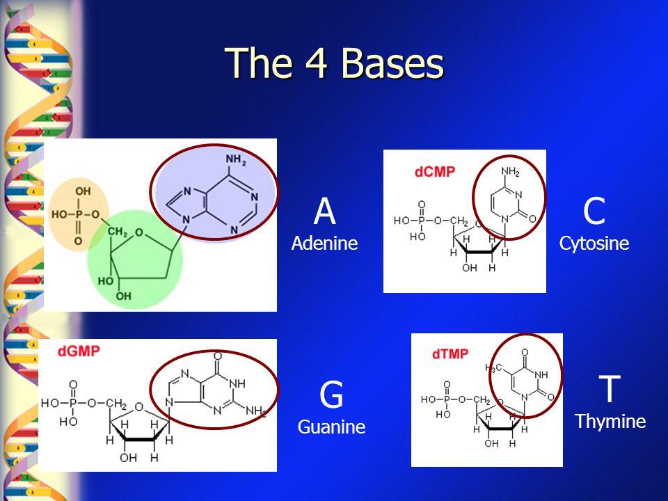 The 4 Bases A Adenine G Guanine C Cytosine T Thymine