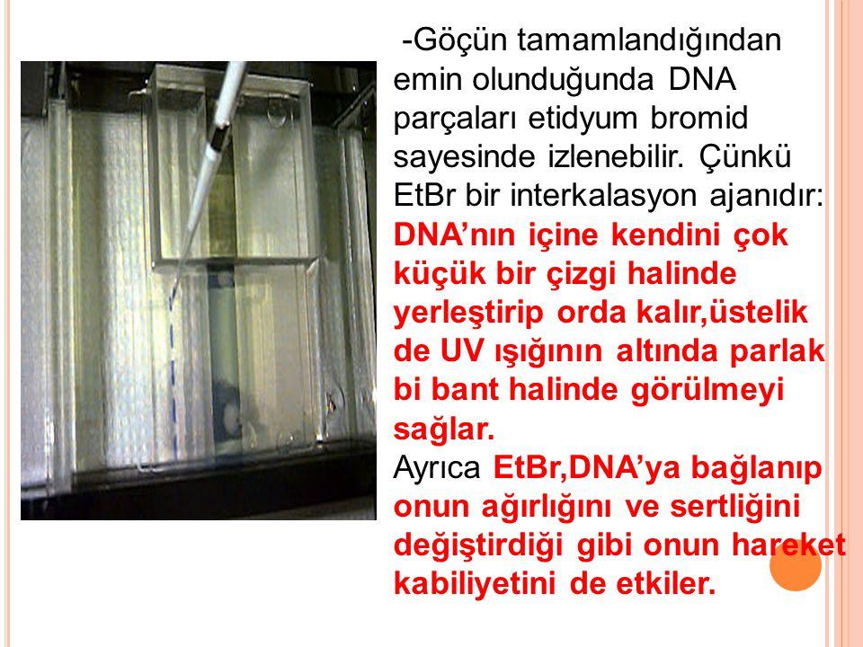-Göçün tamamlandığından emin olunduğunda DNA parçaları etidyum bromid sayesinde izlenebilir. Çünkü EtBr bir interkalasyon ajanıdır: DNA'nın içine kend