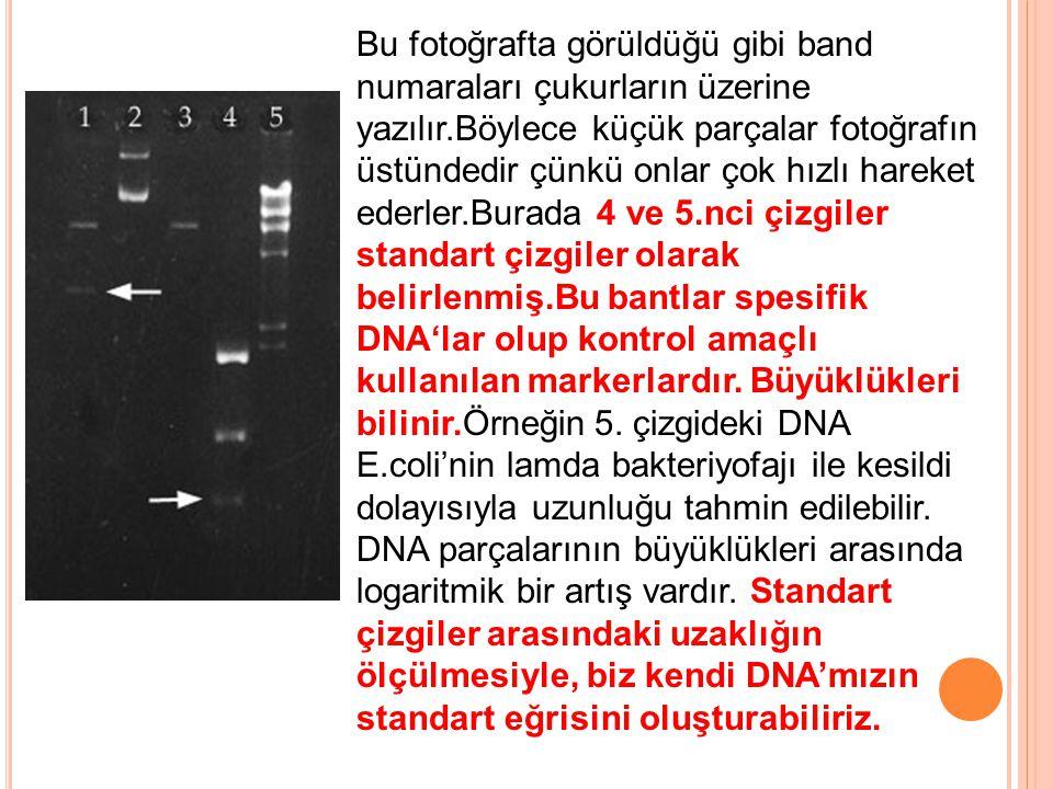 Bu fotoğrafta görüldüğü gibi band numaraları çukurların üzerine yazılır.Böylece küçük parçalar fotoğrafın üstündedir çünkü onlar çok hızlı hareket ederler.Burada 4 ve 5.nci çizgiler standart çizgiler olarak belirlenmiş.Bu bantlar spesifik DNA'lar olup kontrol amaçlı kullanılan markerlardır.