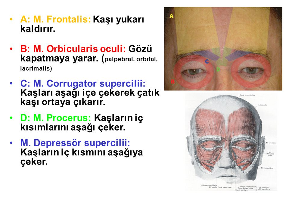 •A: M. Frontalis: Kaşı yukarı kaldırır. •B: M. Orbicularis oculi: Gözü kapatmaya yarar. ( palpebral, orbital, lacrimalis) •C: M. Corrugator supercilii