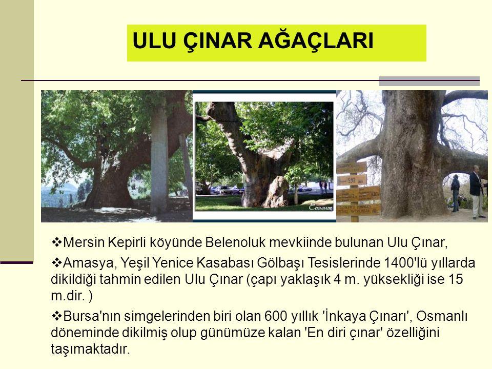  Mersin Kepirli köyünde Belenoluk mevkiinde bulunan Ulu Çınar,  Amasya, Yeşil Yenice Kasabası Gölbaşı Tesislerinde 1400 lü yıllarda dikildiği tahmin edilen Ulu Çınar (çapı yaklaşık 4 m.