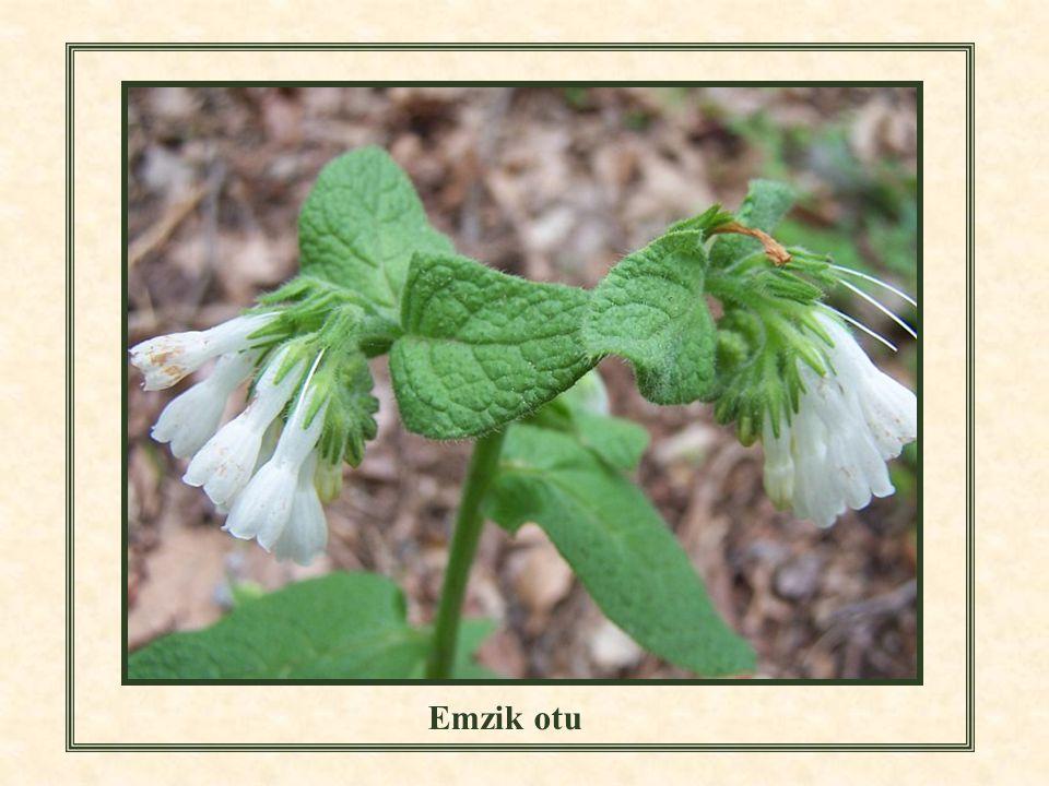 Çivit otunun çiçekleri Emzik otu