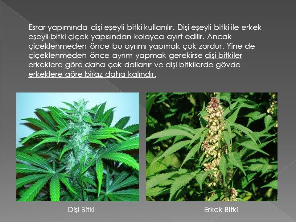 Esrar yapımında dişi eşeyli bitki kullanılır. Dişi eşeyli bitki ile erkek eşeyli bitki çiçek yapısından kolayca ayırt edilir. Ancak çiçeklenmeden önce