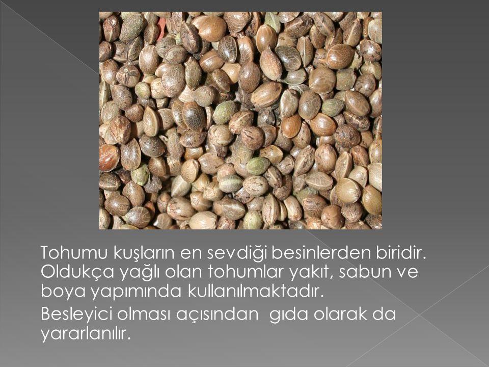 Tohumu kuşların en sevdiği besinlerden biridir. Oldukça yağlı olan tohumlar yakıt, sabun ve boya yapımında kullanılmaktadır. Besleyici olması açısında