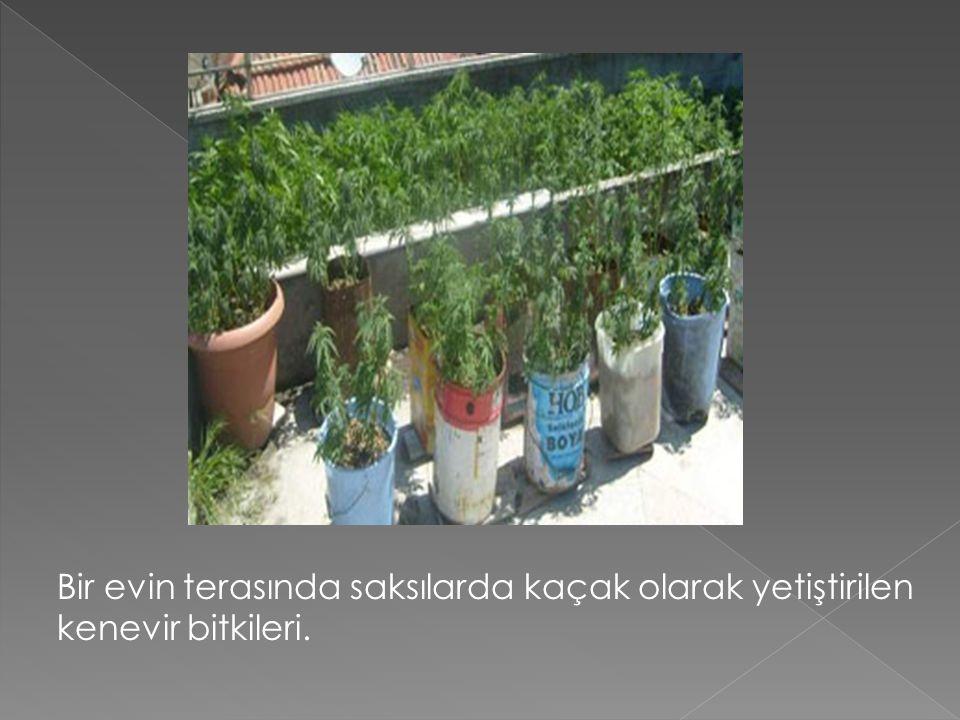 Bir evin terasında saksılarda kaçak olarak yetiştirilen kenevir bitkileri.