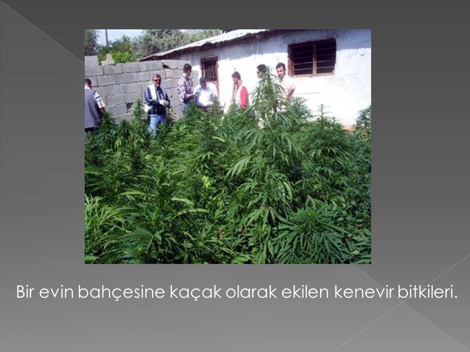 Bir evin bahçesine kaçak olarak ekilen kenevir bitkileri.