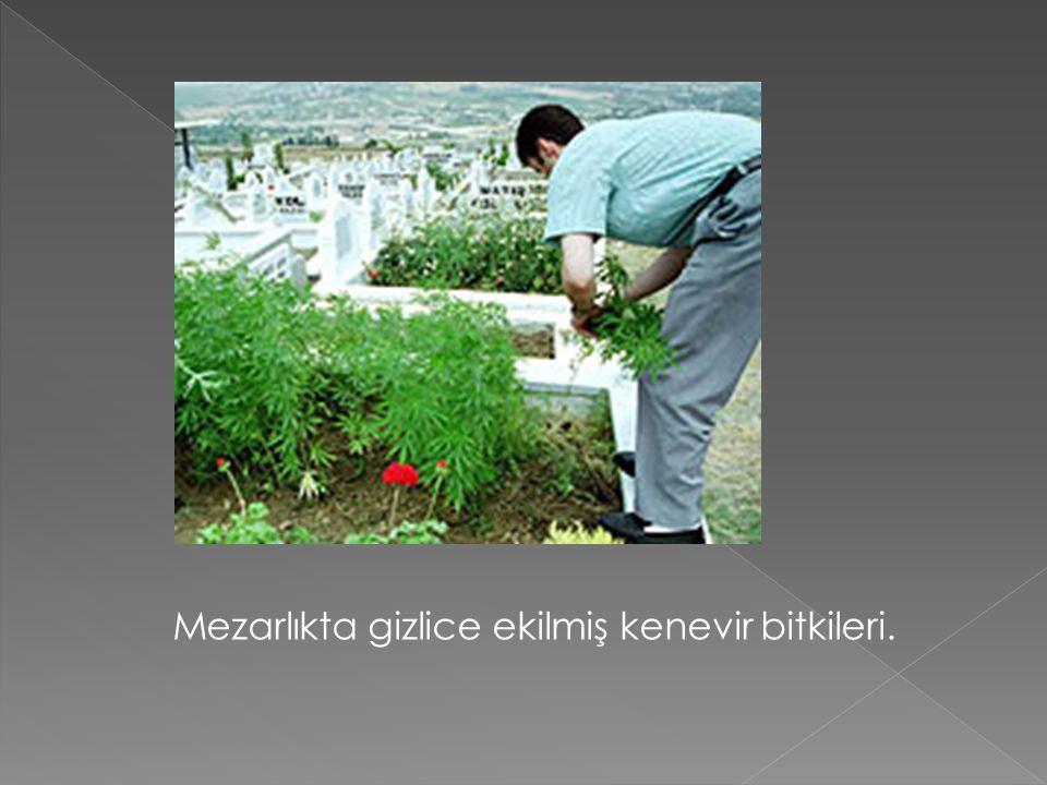 Mezarlıkta gizlice ekilmiş kenevir bitkileri.