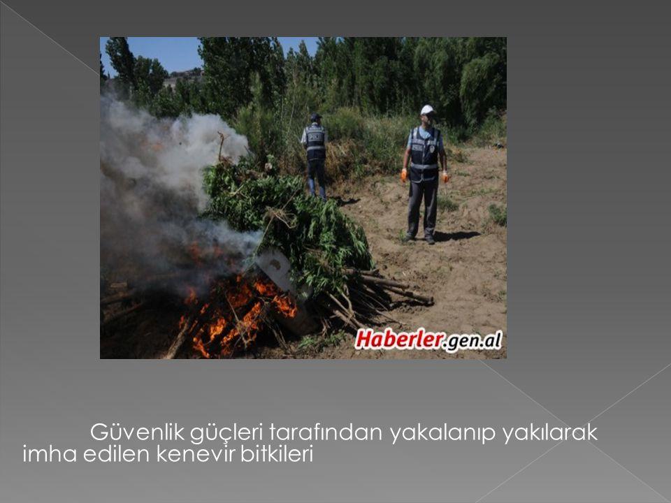 Güvenlik güçleri tarafından yakalanıp yakılarak imha edilen kenevir bitkileri