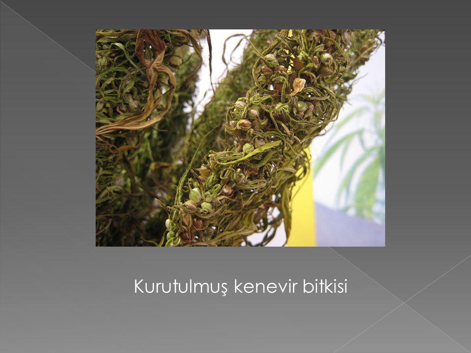 Kurutulmuş kenevir bitkisi