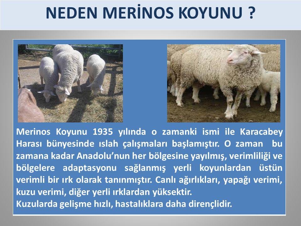 Merinos Koyunu 1935 yılında o zamanki ismi ile Karacabey Harası bünyesinde ıslah çalışmaları başlamıştır. O zaman bu zamana kadar Anadolu'nun her bölg