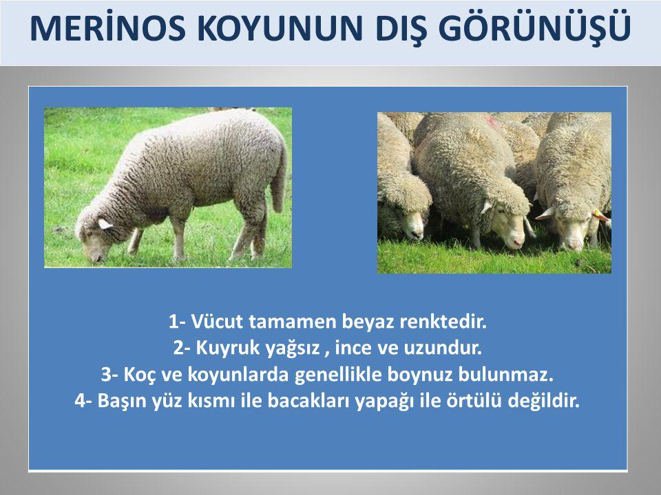 1- Vücut tamamen beyaz renktedir. 2- Kuyruk yağsız, ince ve uzundur. 3- Koç ve koyunlarda genellikle boynuz bulunmaz. 4- Başın yüz kısmı ile bacakları
