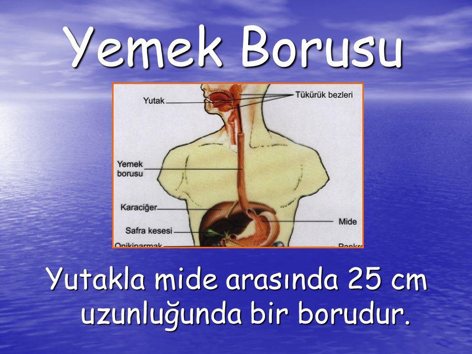 Yemek Borusu Yutakla mide arasında 25 cm uzunluğunda bir borudur.
