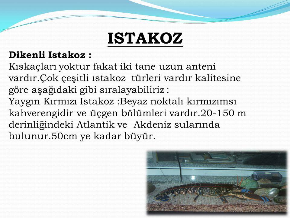 ISTAKOZ Dikenli Istakoz : Kıskaçları yoktur fakat iki tane uzun anteni vardır.Çok çeşitli ıstakoz türleri vardır kalitesine göre aşağıdaki gibi sırala