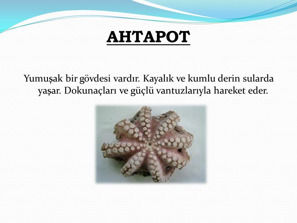 AHTAPOT Yumuşak bir gövdesi vardır. Kayalık ve kumlu derin sularda yaşar. Dokunaçları ve güçlü vantuzlarıyla hareket eder.