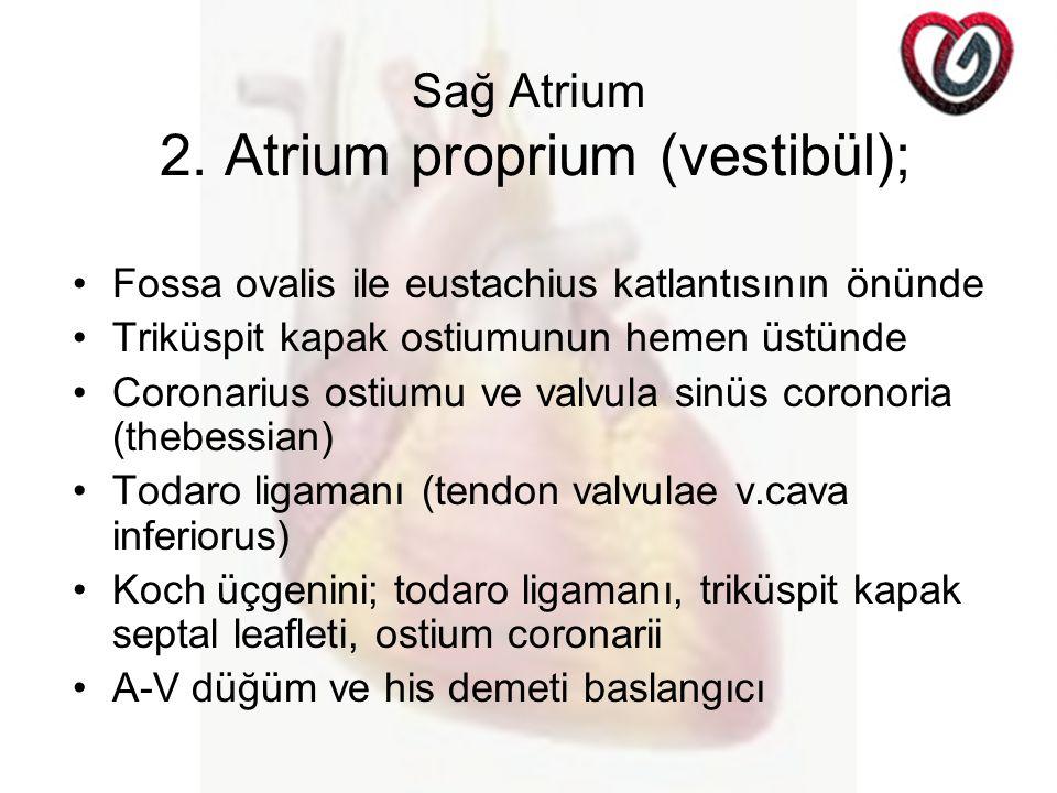 Sağ Atrium 2. Atrium proprium (vestibül); Fossa ovalis ile eustachius katlantısının önünde Triküspit kapak ostiumunun hemen üstünde Coronarius ostiumu