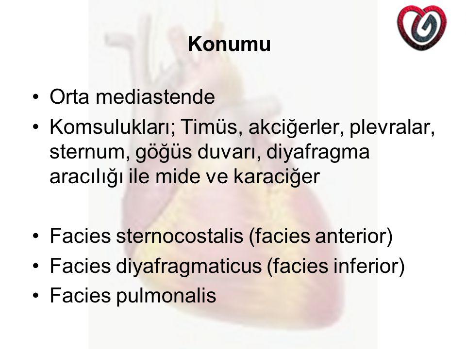 Konumu Orta mediastende Komsulukları; Timüs, akciğerler, plevralar, sternum, göğüs duvarı, diyafragma aracılığı ile mide ve karaciğer Facies sternocostalis (facies anterior) Facies diyafragmaticus (facies inferior) Facies pulmonalis
