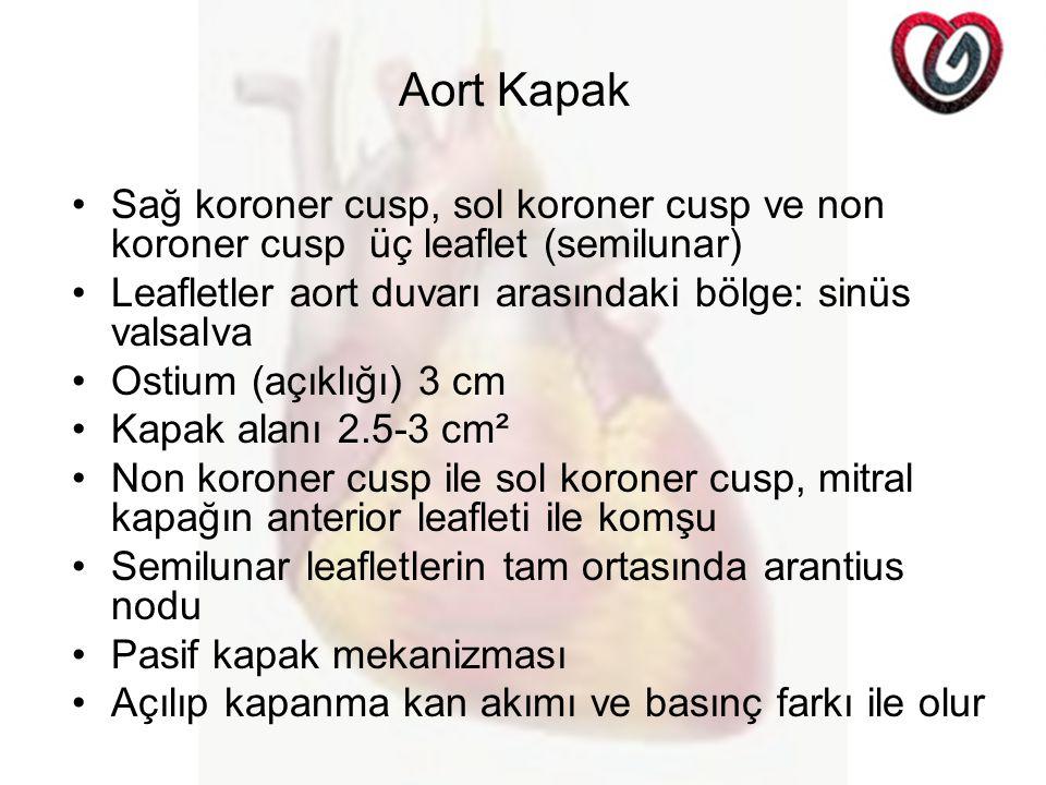 Aort Kapak Sağ koroner cusp, sol koroner cusp ve non koroner cusp üç leaflet (semilunar) Leafletler aort duvarı arasındaki bölge: sinüs valsalva Ostiu
