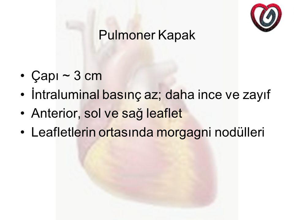 Pulmoner Kapak Çapı ~ 3 cm İntraluminal basınç az; daha ince ve zayıf Anterior, sol ve sağ leaflet Leafletlerin ortasında morgagni nodülleri