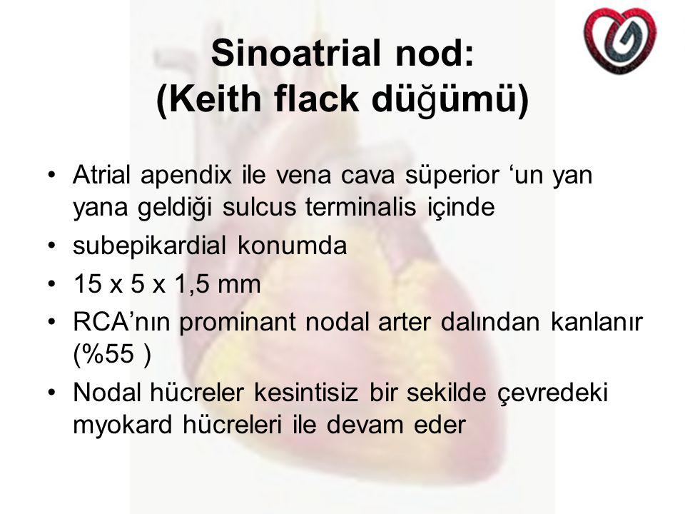 Sinoatrial nod: (Keith flack düğümü) Atrial apendix ile vena cava süperior 'un yan yana geldiği sulcus terminalis içinde subepikardial konumda 15 x 5 x 1,5 mm RCA'nın prominant nodal arter dalından kanlanır (%55 ) Nodal hücreler kesintisiz bir sekilde çevredeki myokard hücreleri ile devam eder