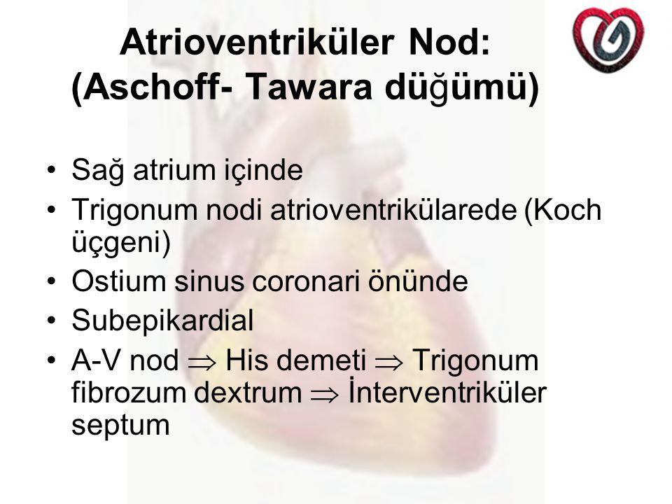 Atrioventriküler Nod: (Aschoff- Tawara düğümü) Sağ atrium içinde Trigonum nodi atrioventrikülarede (Koch üçgeni) Ostium sinus coronari önünde Subepikardial A-V nod  His demeti  Trigonum fibrozum dextrum  İnterventriküler septum