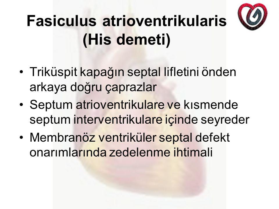 Fasiculus atrioventrikularis (His demeti) Triküspit kapağın septal lifletini önden arkaya doğru çaprazlar Septum atrioventrikulare ve kısmende septum interventrikulare içinde seyreder Membranöz ventriküler septal defekt onarımlarında zedelenme ihtimali