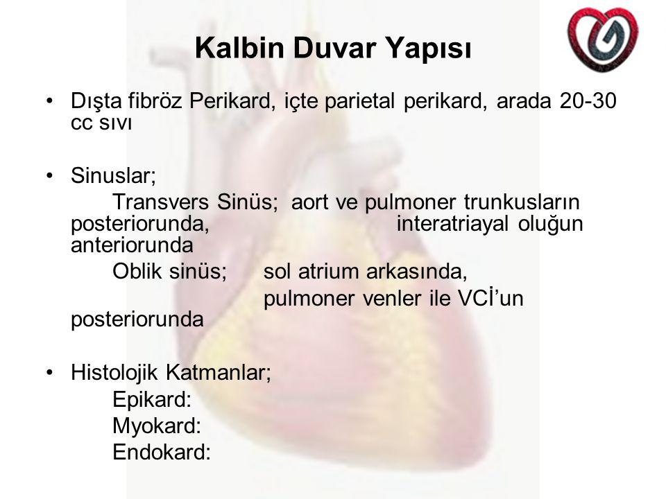 Kalbin Duvar Yapısı Dışta fibröz Perikard, içte parietal perikard, arada 20-30 cc sıvı Sinuslar; Transvers Sinüs; aort ve pulmoner trunkusların posteriorunda, interatriayal oluğun anteriorunda Oblik sinüs; sol atrium arkasında, pulmoner venler ile VCİ'un posteriorunda Histolojik Katmanlar; Epikard: Myokard: Endokard: