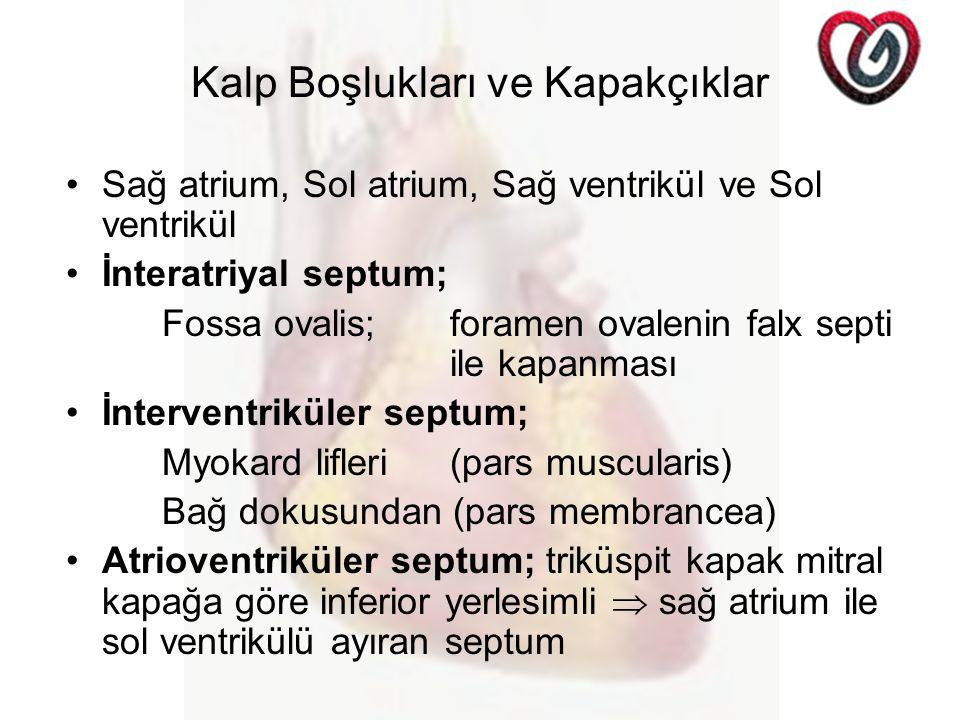 Kalp Boşlukları ve Kapakçıklar Sağ atrium, Sol atrium, Sağ ventrikül ve Sol ventrikül İnteratriyal septum; Fossa ovalis;foramen ovalenin falx septi ile kapanması İnterventriküler septum; Myokard lifleri (pars muscularis) Bağ dokusundan (pars membrancea) Atrioventriküler septum; triküspit kapak mitral kapağa göre inferior yerlesimli  sağ atrium ile sol ventrikülü ayıran septum