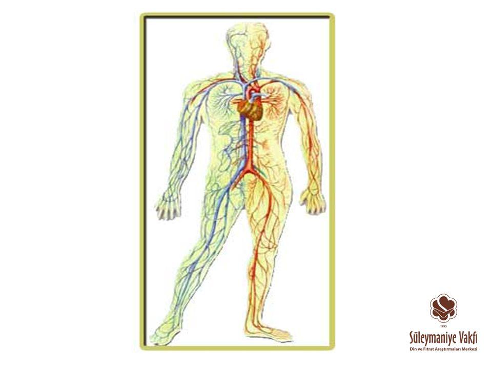 İnsan ağaçsa ana dalları bir önceki slaytta gördüğümüz damarlardır..Üreme sistemi dahil insanı oluşturan tüm organ ve doku sistemlerini besler..Bu sayede insan yaşamsal fonksiyona sahip olur ve neslinin devamlılığını sağlanmış olur..