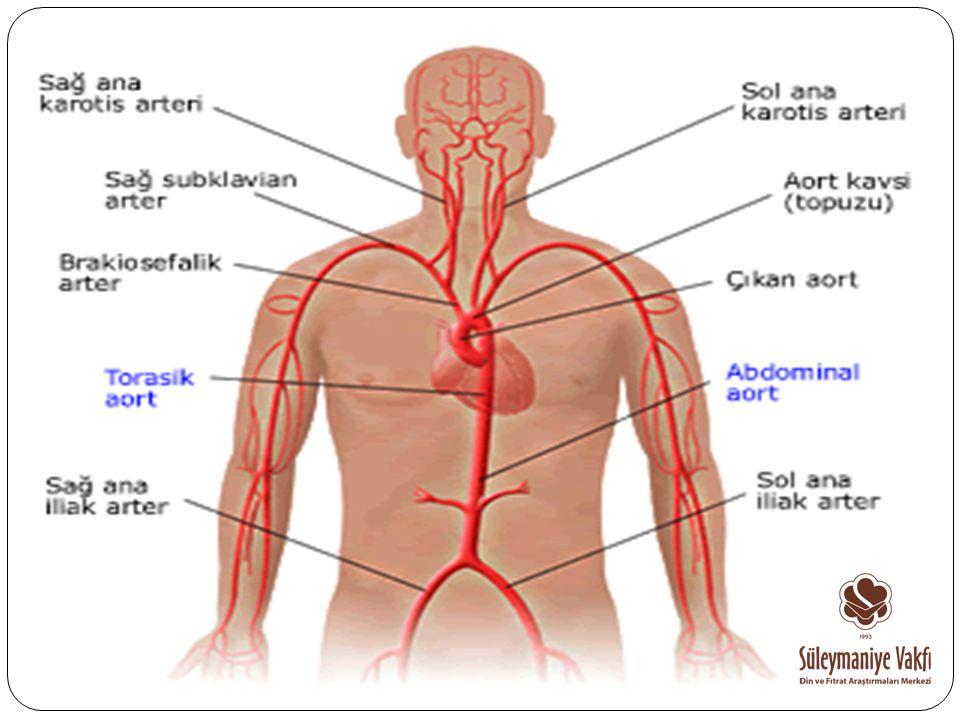 İnsanda dolaşım sisteminde başlıca atardamarlar, toplardamarlar ve kılcaldamarlar olmak üzere üç çesit damar bulunur.