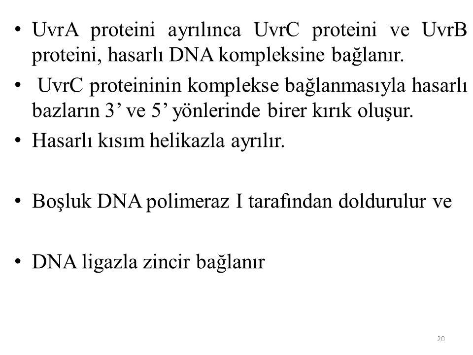 20 UvrA proteini ayrılınca UvrC proteini ve UvrB proteini, hasarlı DNA kompleksine bağlanır. UvrC proteininin komplekse bağlanmasıyla hasarlı bazların
