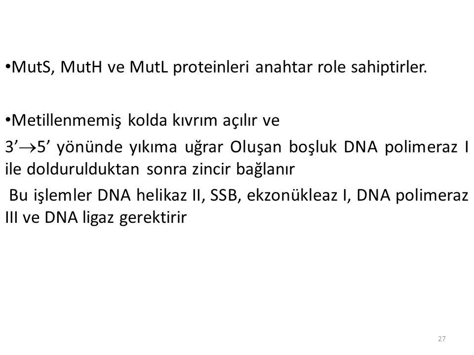 27 MutS, MutH ve MutL proteinleri anahtar role sahiptirler. Metillenmemiş kolda kıvrım açılır ve 3'  5' yönünde yıkıma uğrar Oluşan boşluk DNA polime