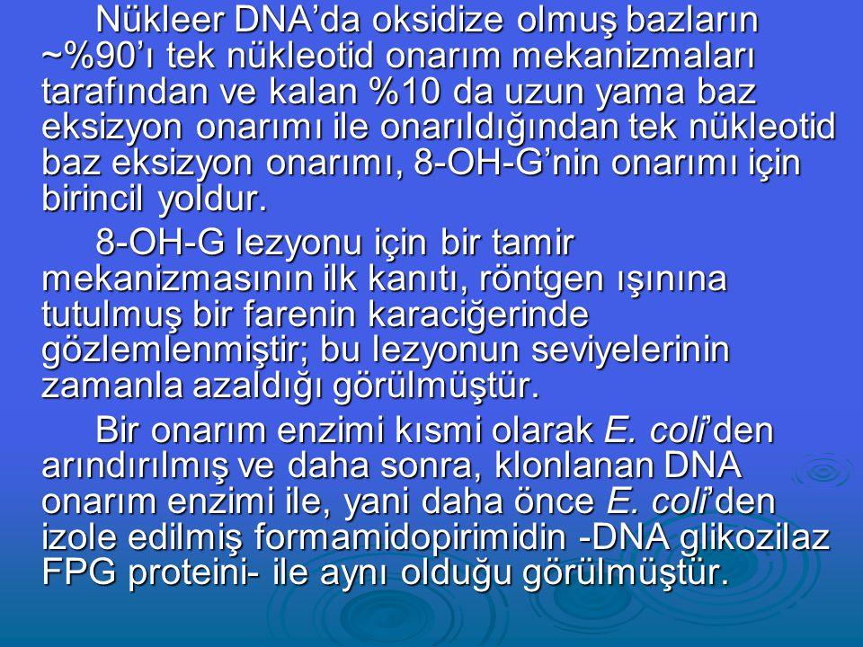Nükleer DNA'da oksidize olmuş bazların ~%90'ı tek nükleotid onarım mekanizmaları tarafından ve kalan %10 da uzun yama baz eksizyon onarımı ile onarıldığından tek nükleotid baz eksizyon onarımı, 8-OH-G'nin onarımı için birincil yoldur.
