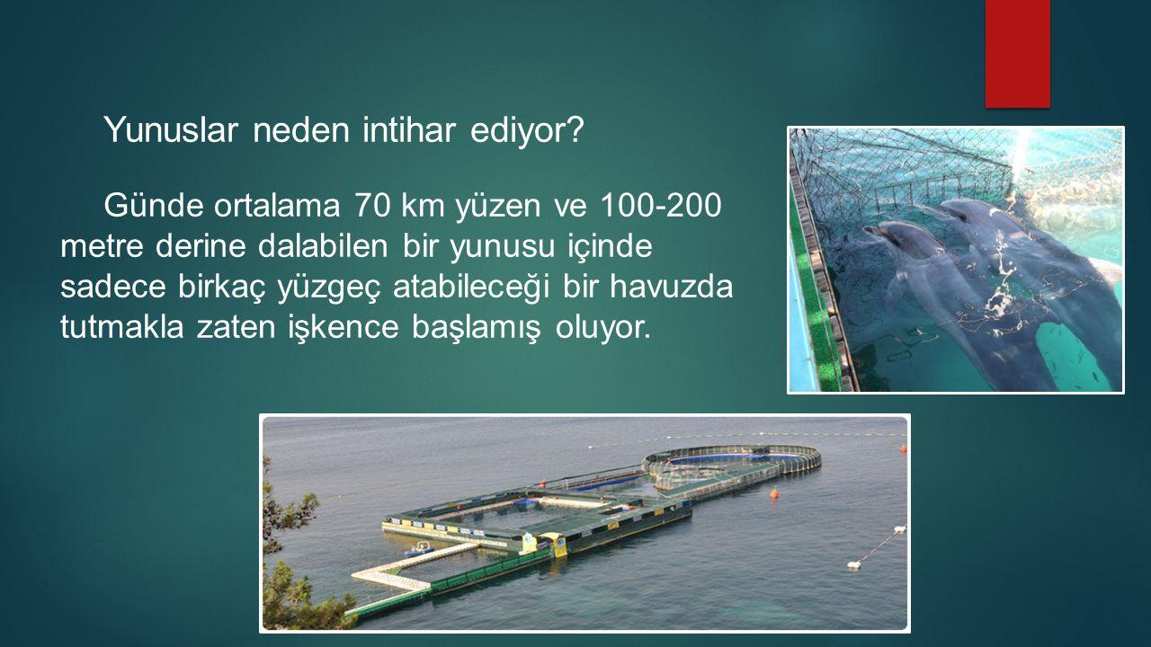 Yunuslar neden intihar ediyor? Günde ortalama 70 km yüzen ve 100-200 metre derine dalabilen bir yunusu içinde sadece birkaç yüzgeç atabileceği bir hav