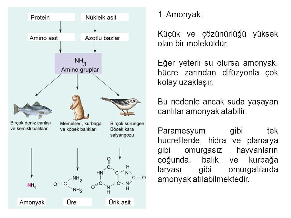 1. Amonyak: Küçük ve çözünürlüğü yüksek olan bir moleküldür. Eğer yeterli su olursa amonyak, hücre zarından difüzyonla çok kolay uzaklaşır. Bu nedenle