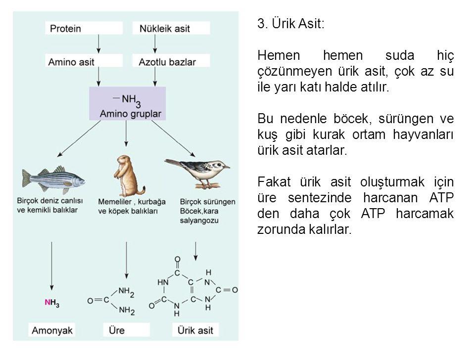 3. Ürik Asit: Hemen hemen suda hiç çözünmeyen ürik asit, çok az su ile yarı katı halde atılır. Bu nedenle böcek, sürüngen ve kuş gibi kurak ortam hayv