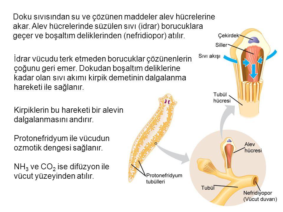 Doku sıvısından su ve çözünen maddeler alev hücrelerine akar. Alev hücrelerinde süzülen sıvı (idrar) borucuklara geçer ve boşaltım deliklerinden (nefr