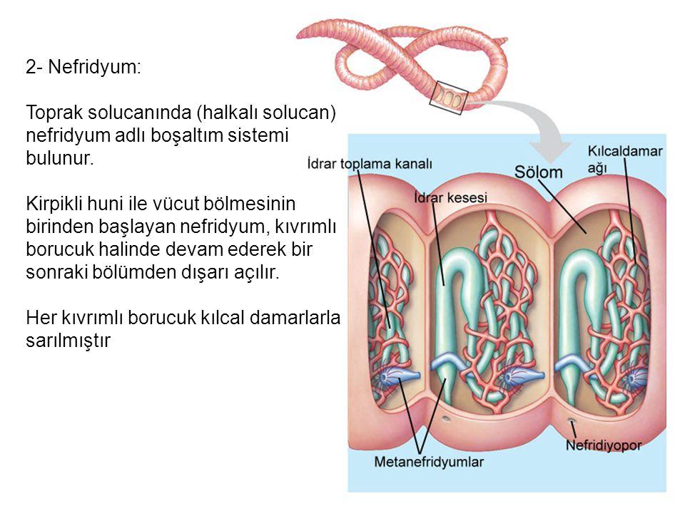 2- Nefridyum: Toprak solucanında (halkalı solucan) nefridyum adlı boşaltım sistemi bulunur. Kirpikli huni ile vücut bölmesinin birinden başlayan nefri