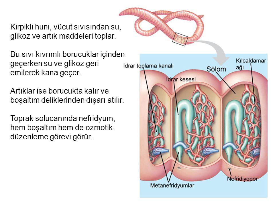 Kirpikli huni, vücut sıvısından su, glikoz ve artık maddeleri toplar. Bu sıvı kıvrımlı borucuklar içinden geçerken su ve glikoz geri emilerek kana geç