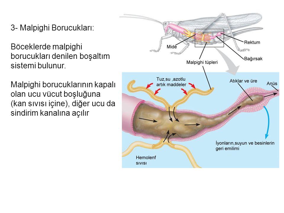3- Malpighi Borucukları: Böceklerde malpighi borucukları denilen boşaltım sistemi bulunur. Malpighi borucuklarının kapalı olan ucu vücut boşluğuna (ka